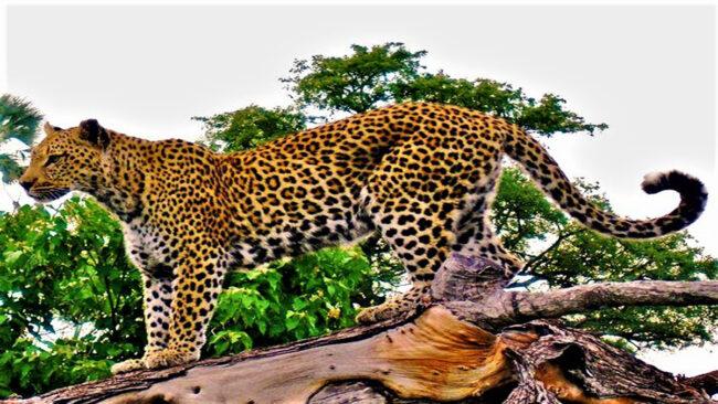 भटके तेंदुआ ने ग्रामीणों पर बोला हमला, कई हुए जख्मी